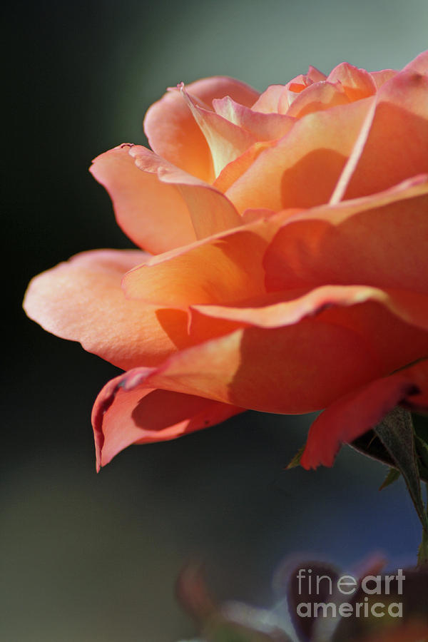 Floral Photograph - Partial Rose by Chris Anderson