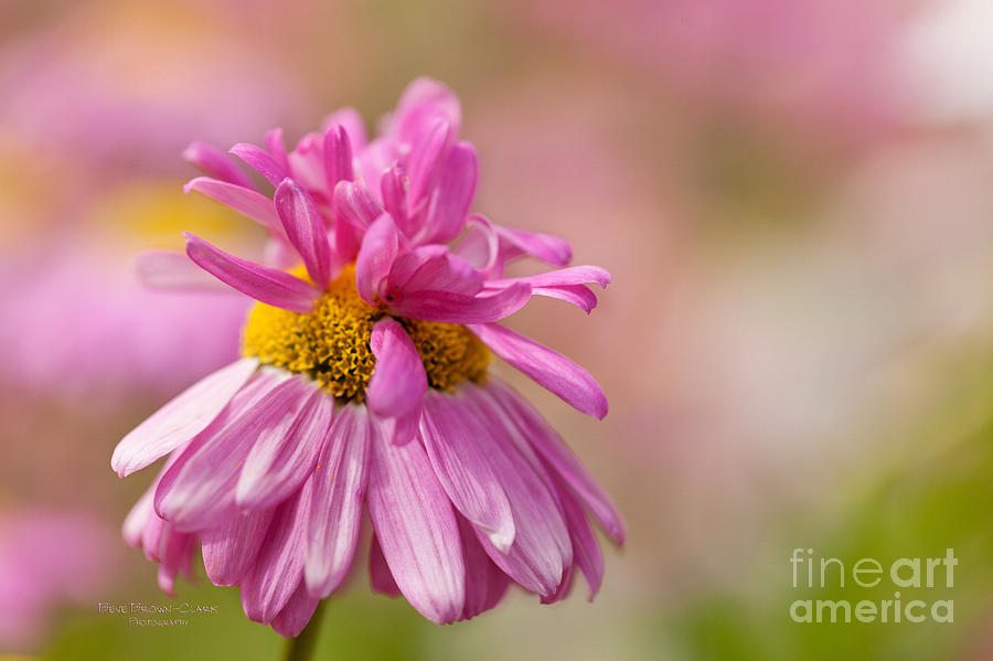 Coneflower Photograph - Party Girl by Beve Brown-Clark Photography