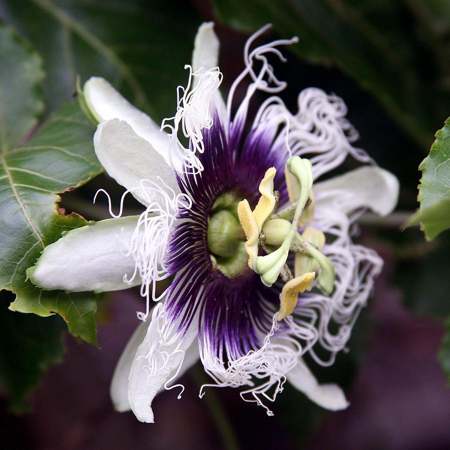 Passionfruit Flower Photograph - Pasionfruit Flower by Jeffrey Lee