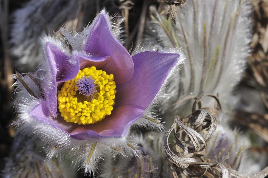 Pasque Flower Photograph - Pasque Flower Pulsatilla Halleri by Matthias Hauser