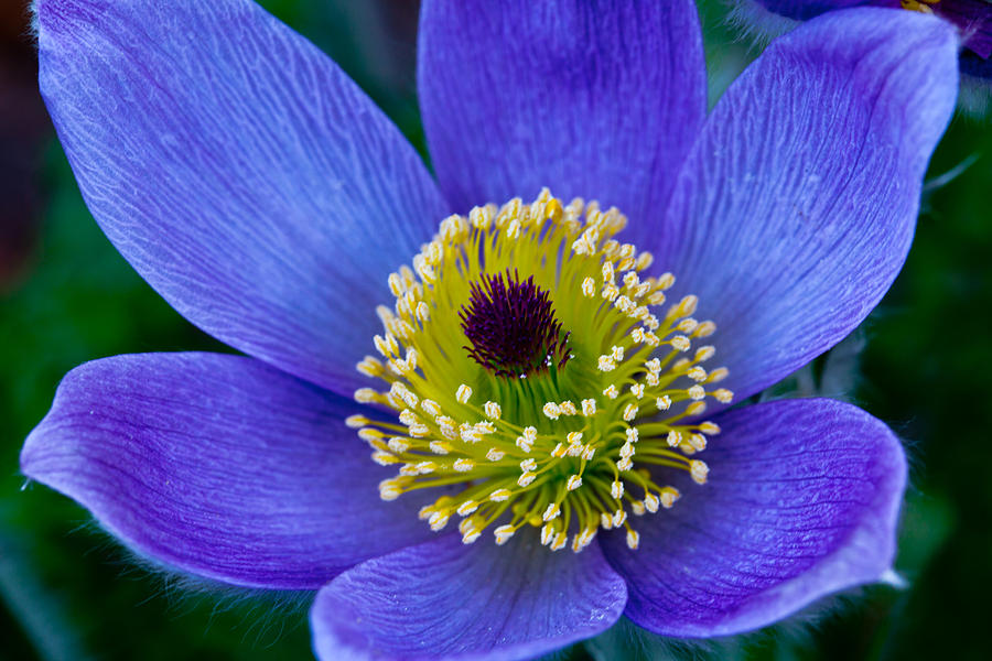 Pasque Flower Photograph By Sally Hanrahan