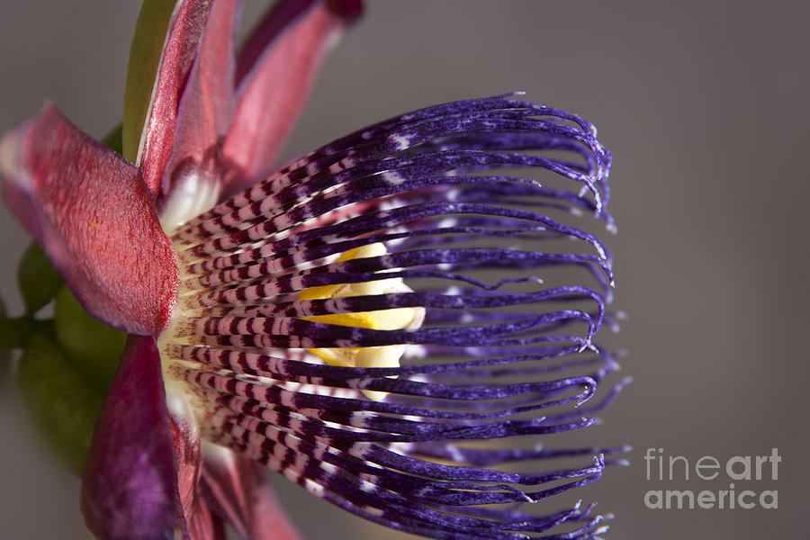 Aloha Photograph - Passiflora Alata - Passion Flower - Ruby Star - Ouvaca by Sharon Mau