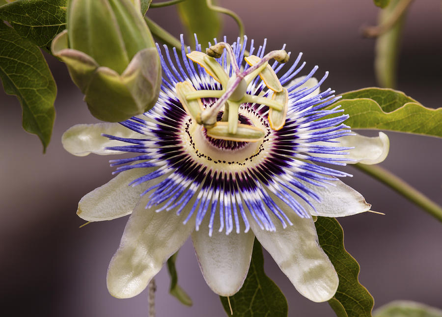 Passion Flower Photograph - Passiflora Caerulea by Caitlyn  Grasso