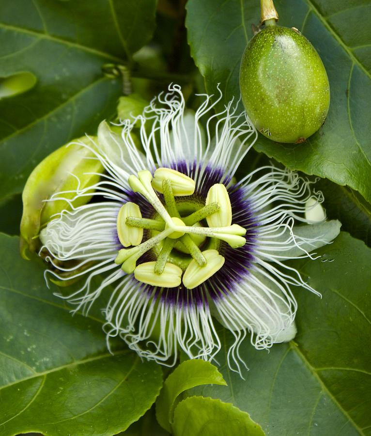 Picture of Live Passion Flower Plant - Possum Purple - Passiflora edulis Plant Fit 1 Gallon Pot