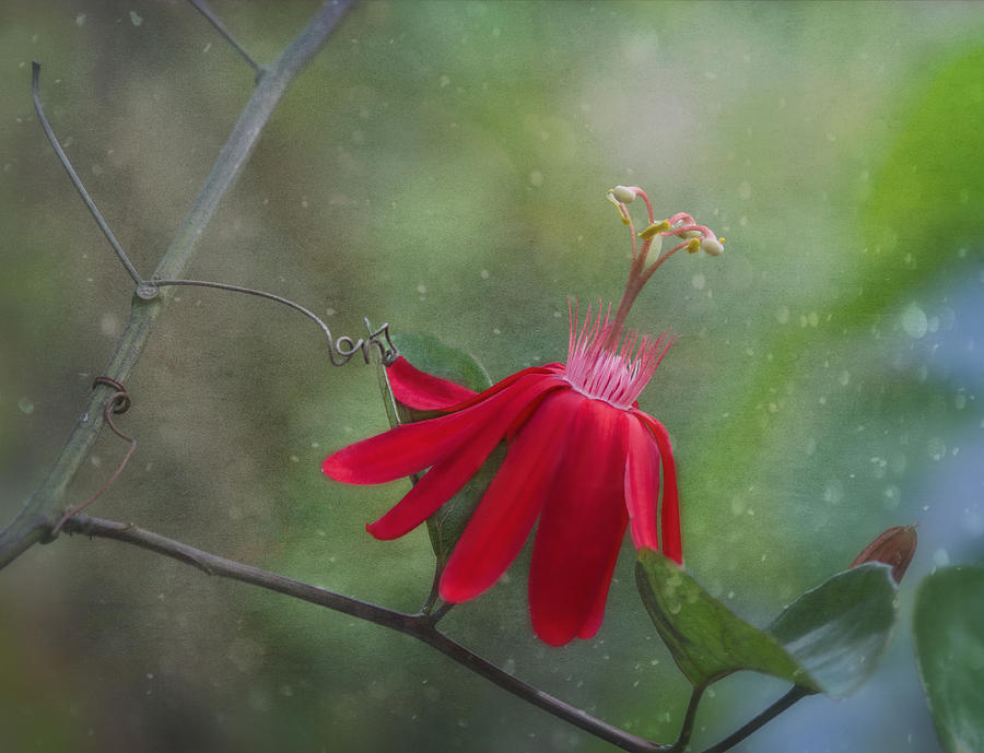 Passion Flower Photograph - Passiflora Flower by Kim Hojnacki