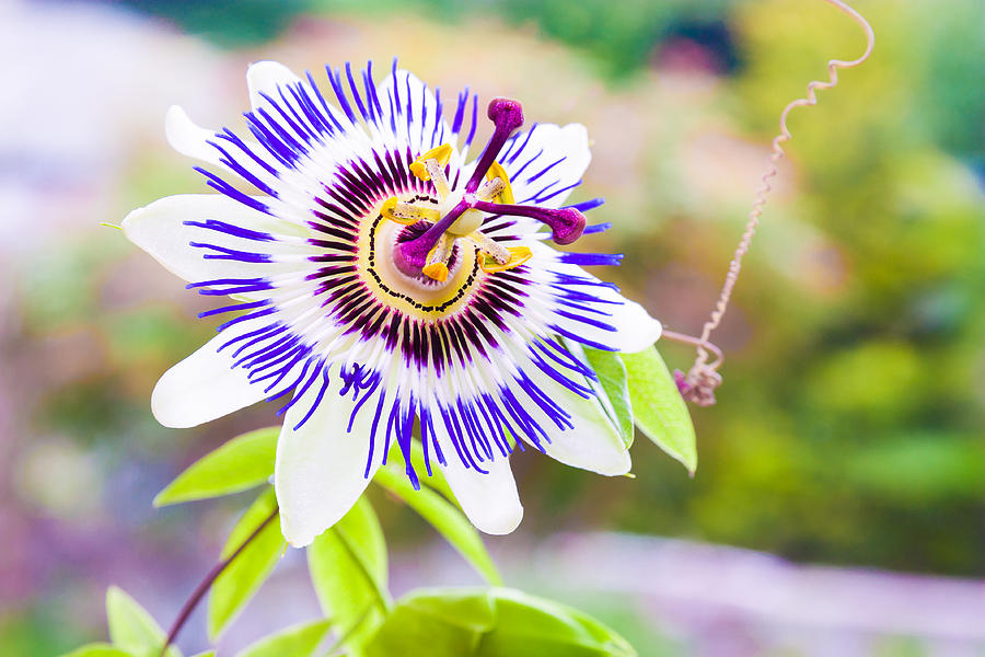 Green Photograph - Passiflora Or Passion Flower by Semmick Photo