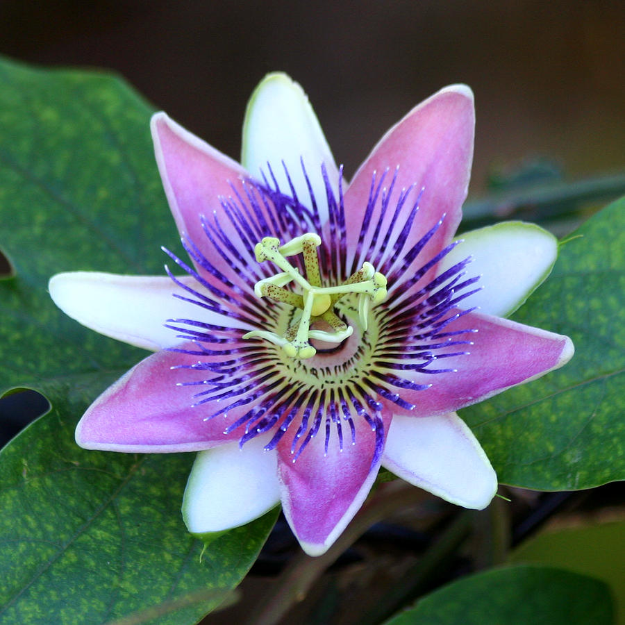 Passion Flower Photograph - Passion Flower by Art Block Collections