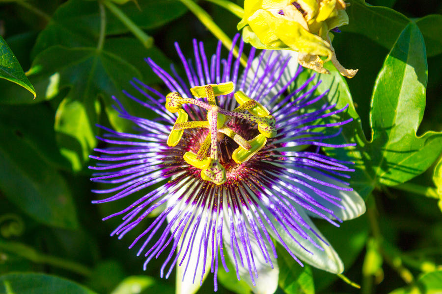 Passion Fruit Flower Photograph - Passion Fruit Flower by G Matthew Laughton