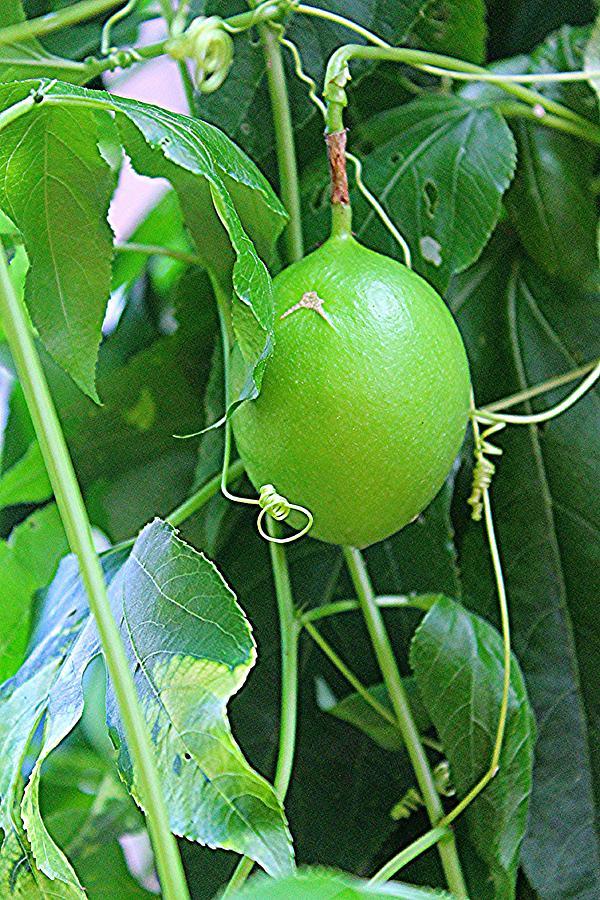 Plant Photograph - Passion Fruit by Sarah E Kohara