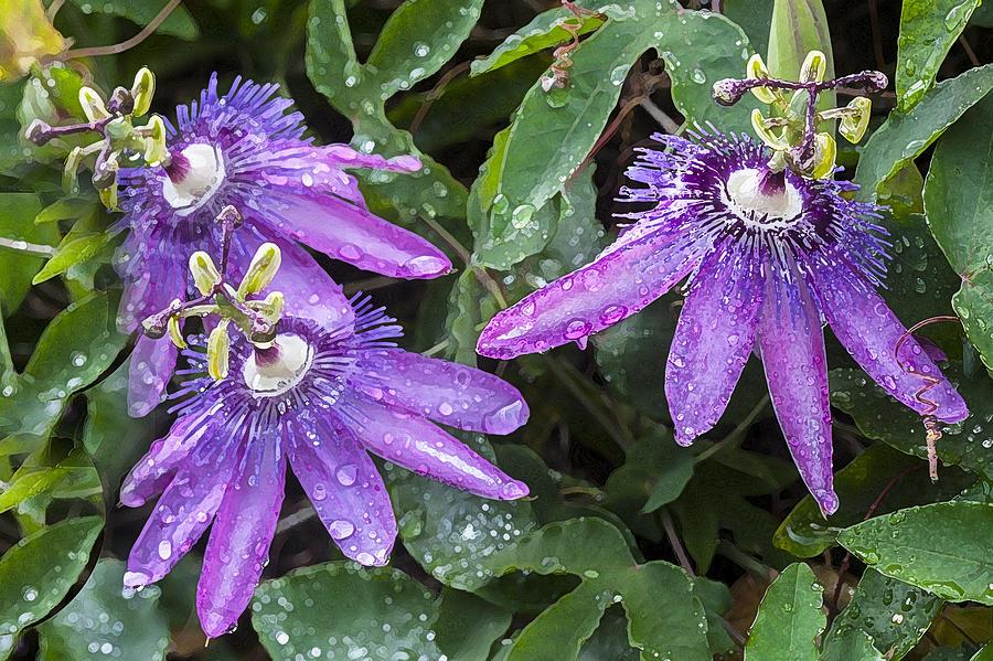 Passion Flower Photograph - Passion Vine Flower Rain Drops by Rich Franco