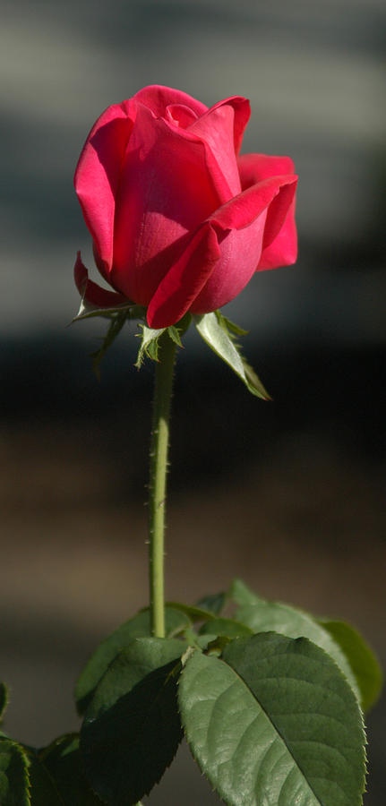 Rose Photograph - Passionate Lady by Penny Lisowski