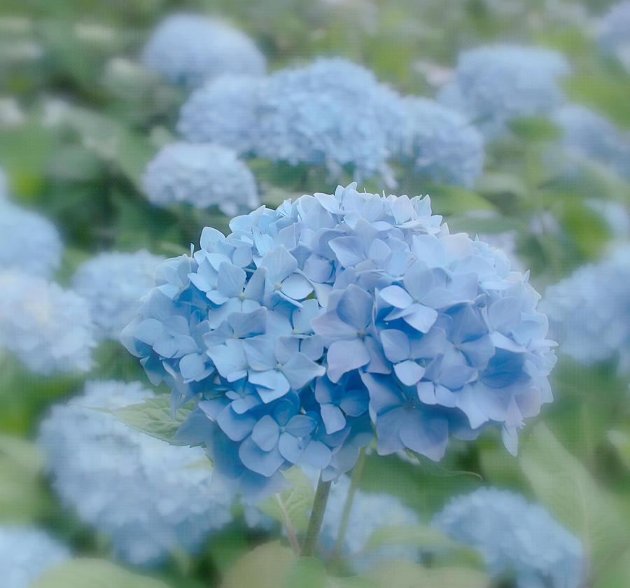 Flower Photograph - Pastel Blue Hydrangea by Kim Hojnacki