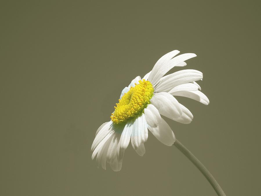 Pastel Daisy Flower by David Dehner