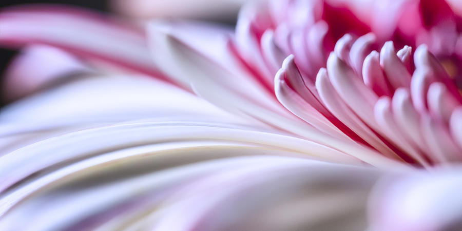 Abstract Photograph - Pastel Gerbera by Adam Romanowicz