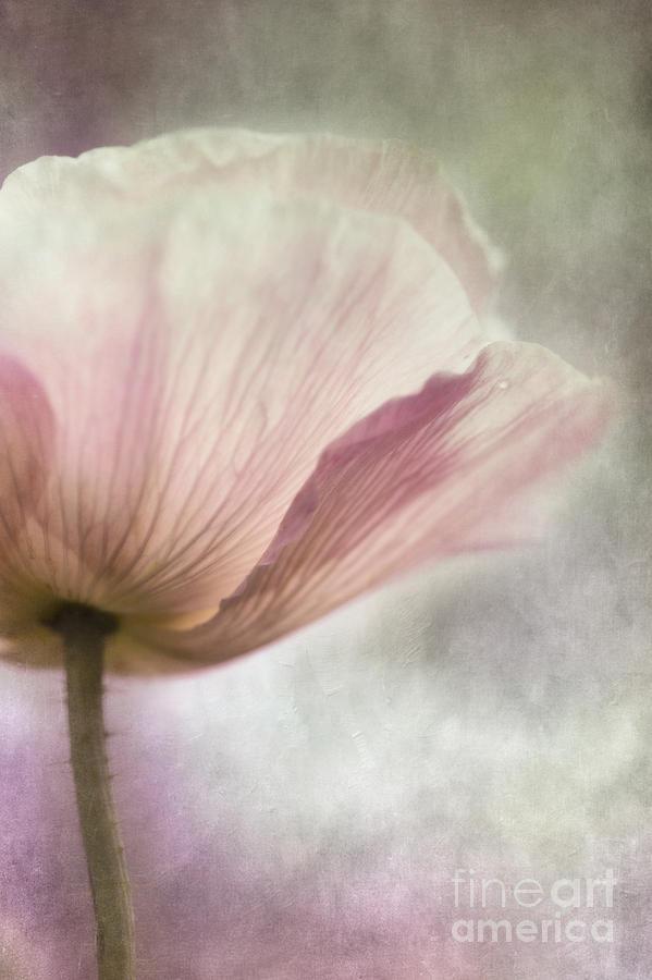 Poppy Photograph - Pastel Pink Poppy by Priska Wettstein