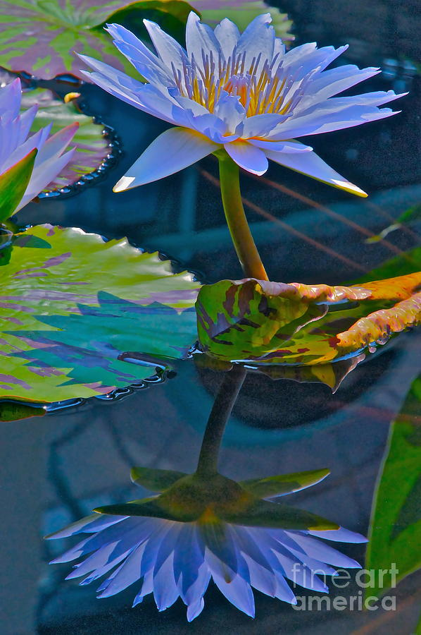 Waterlily Photograph - Pastels In Water by Byron Varvarigos