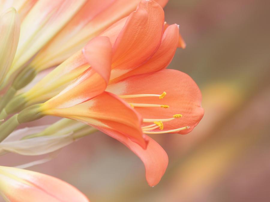 Orange Flower Photograph - Pastels by Kim Hojnacki