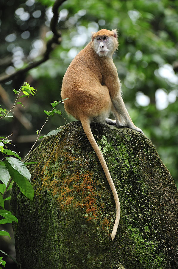 Patas Monkey Photograph by Thomas Marent
