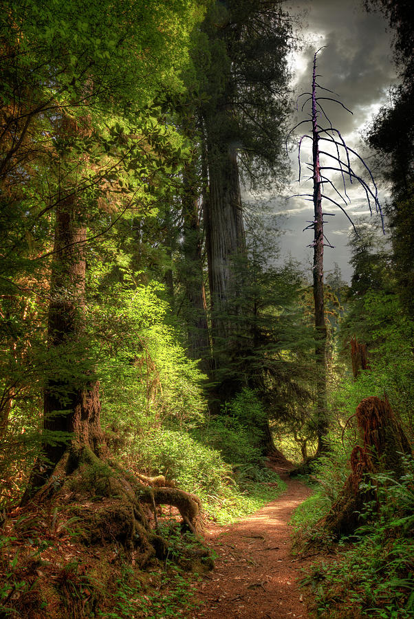 Path Through Redwood Forest Photograph by Ed Freeman
