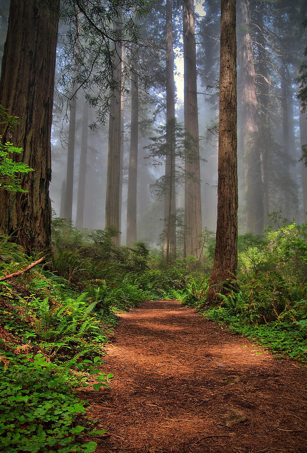 Redwoods Photograph - Path Thru The Redwoods by Michael  Ayers