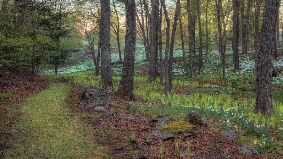 Daffodil Photograph - Path To The Daffodils by Bill Wakeley