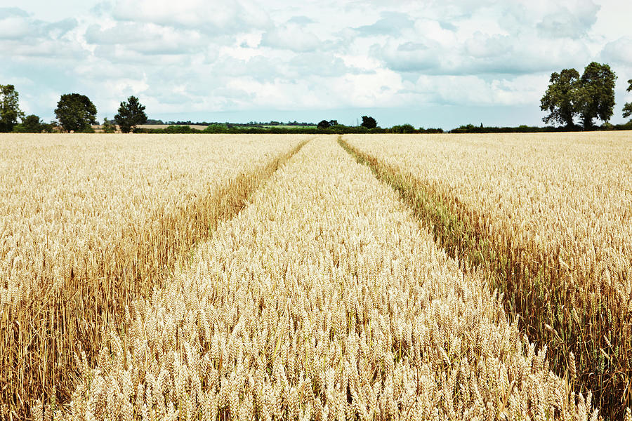 Paths Carved In Field Of Tall Wheat Photograph by Robin James