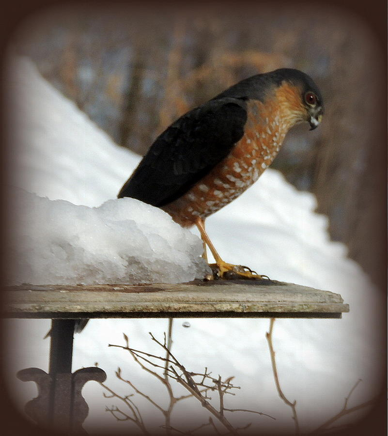 Hawk Photograph - Patience by Mim White
