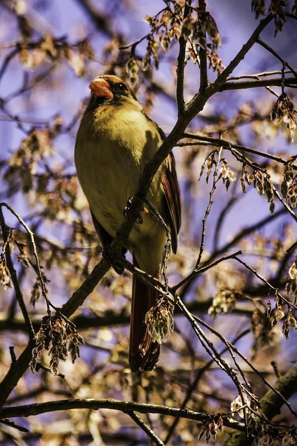 Female Cardinal Photograph - Patiently Waiting by Barry Jones