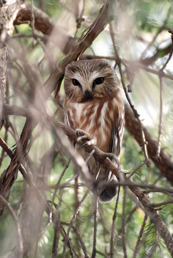 Northern Saw-whet Owl Photograph - Patiently Watching by Tracy Winter