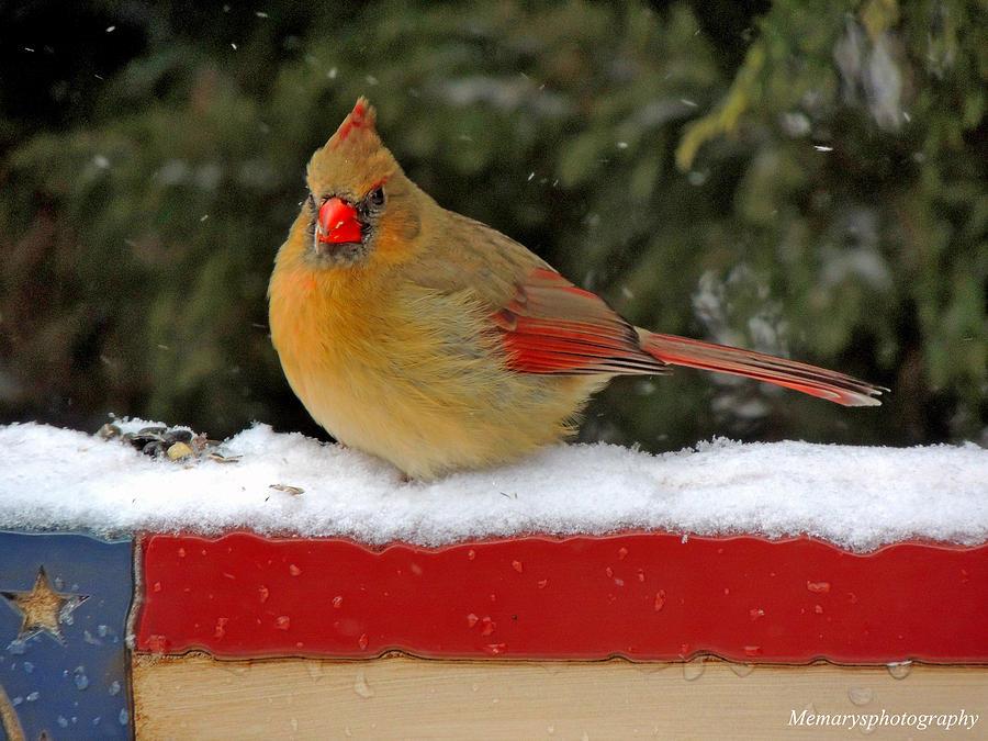 Americana Photograph - Patriotic Cardinal by Mary Williamson