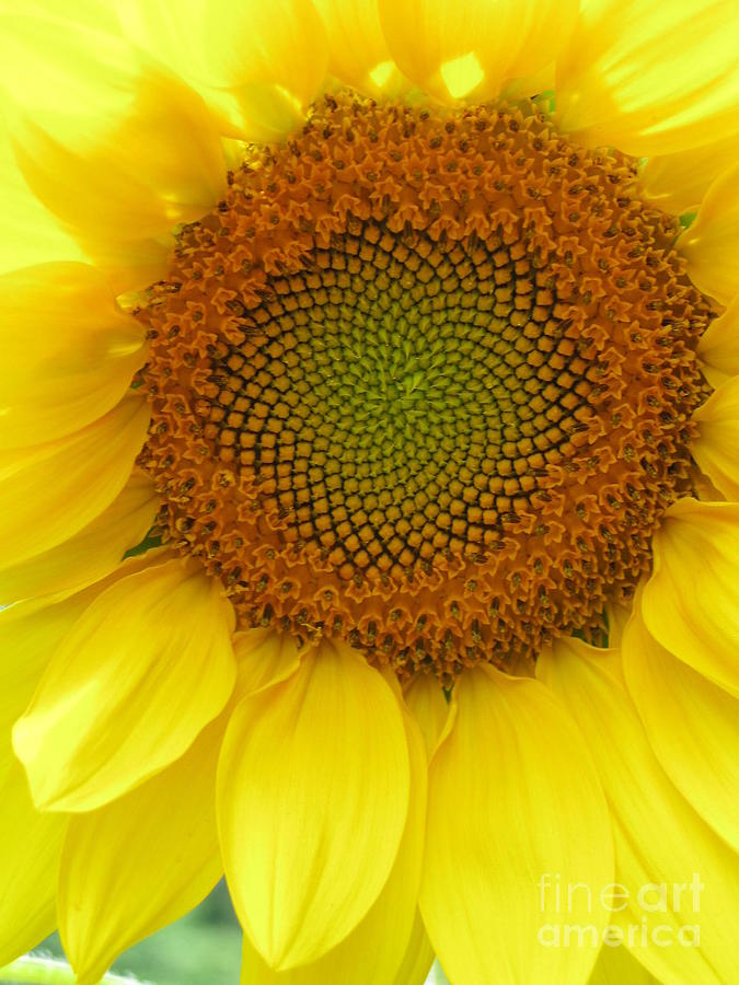 Sunflower Photograph - Patterns Of Nature by Laura Corebello