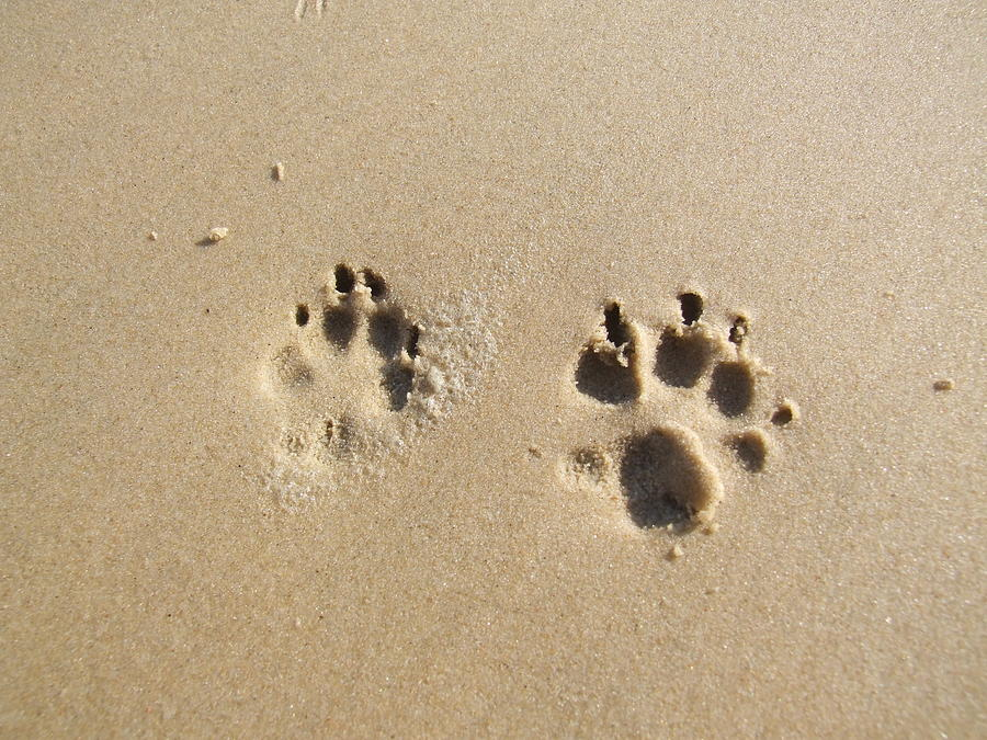 48ea8a53c Paw Prints In The Sand Photograph by Kama Frankling