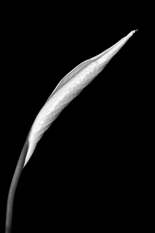 Art Photograph - Peace Lily II by Jeff Burton