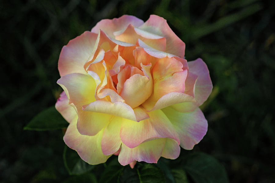 Rose Photograph - Peace Rose by Sandy Keeton