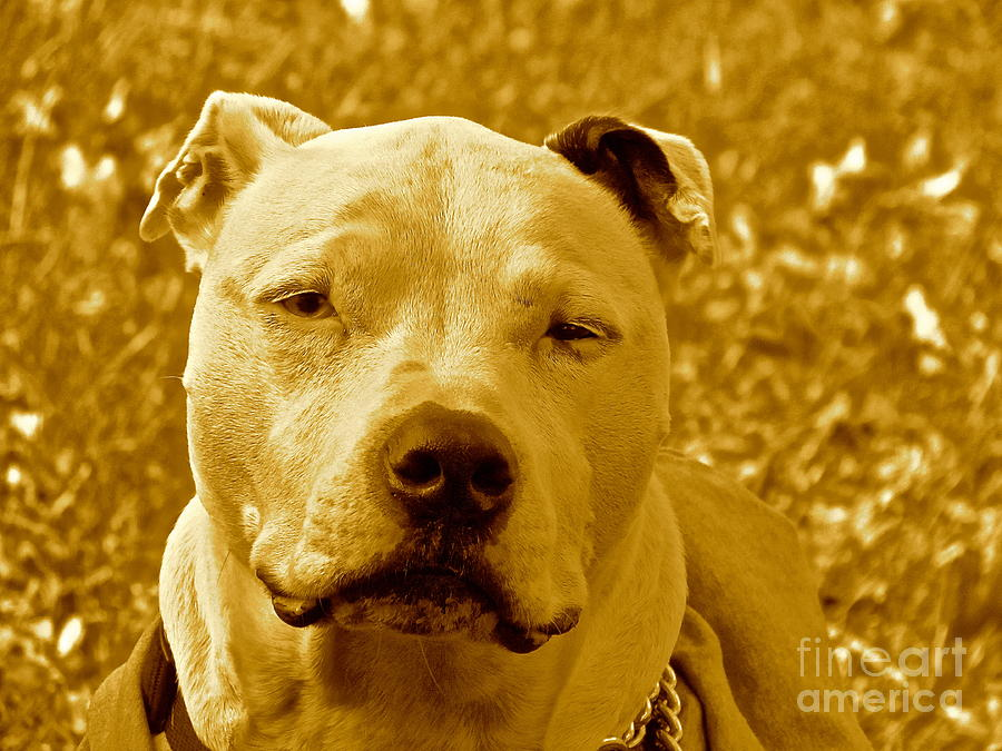 Pitbulls Photograph - Peace To End Dog Fighting by Qs House of Art ArtandFinePhotography