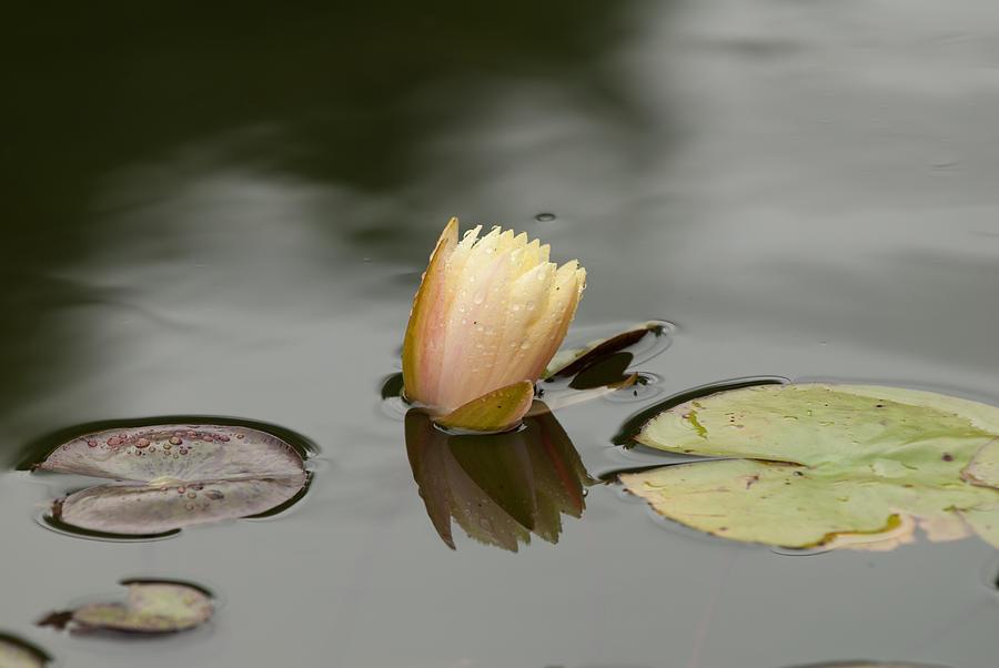 Flower Photograph - Peaceful Pond by Paul Johnson