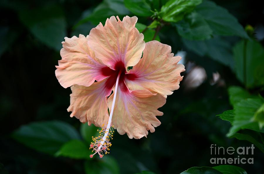 Peach And Deep Purple Hibiscus Flower Photograph By Imran Ahmed
