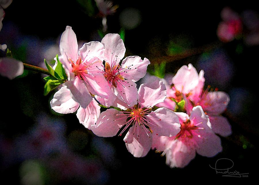 Peach Blossoms by Ludwig Keck
