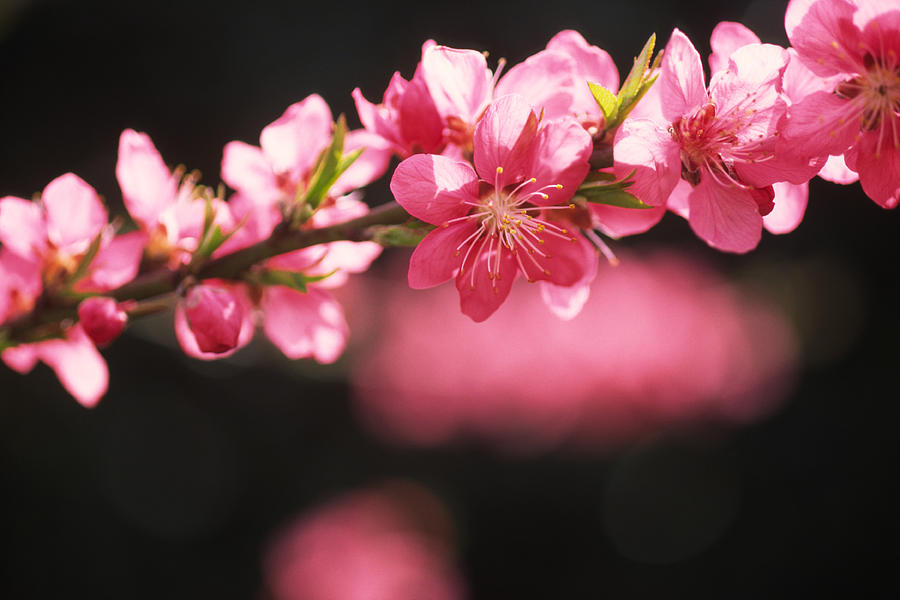 Peach Blossoms Photograph by Ooyoo