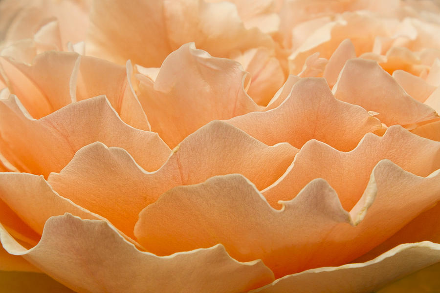 Rose Photograph - Peach Clouds by Marilyn Cornwell