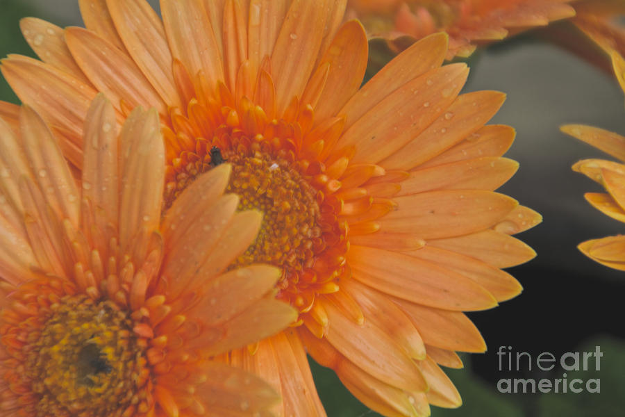 Flower Photograph - Peach Daisy Cluster by William Norton