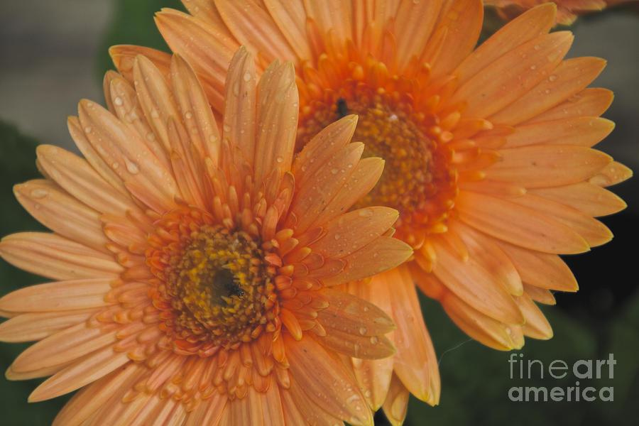 Peach Photograph - Peach Daisy by William Norton