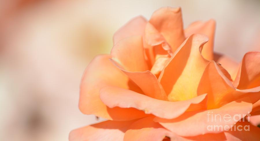Peach Garden Rose Photograph