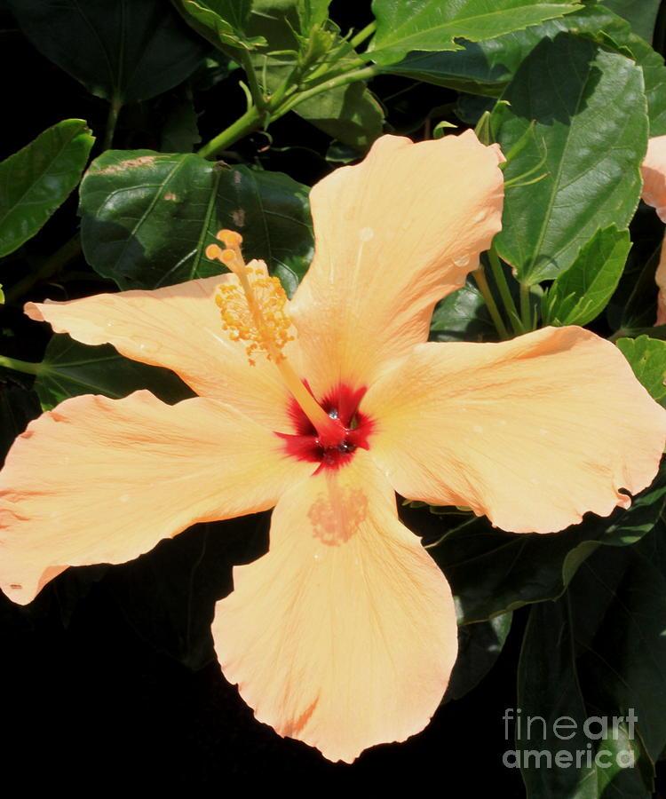 Peach Hibiscus Photograph