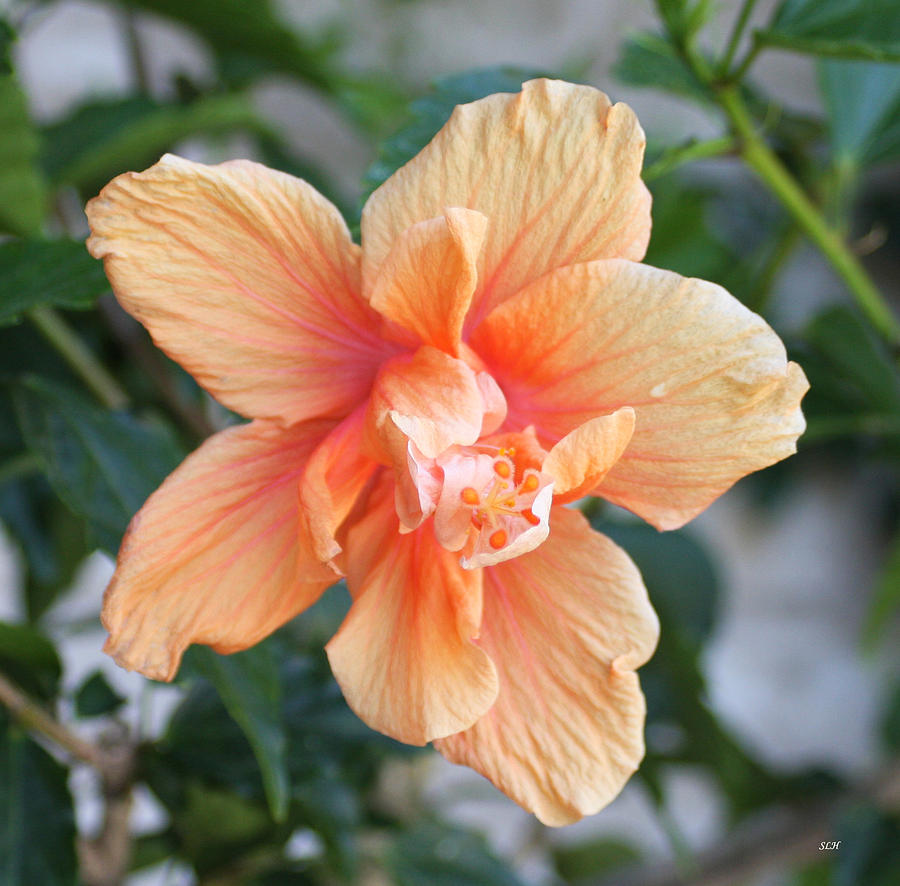 Flowers Photograph - Peach  by Lee Hartsell