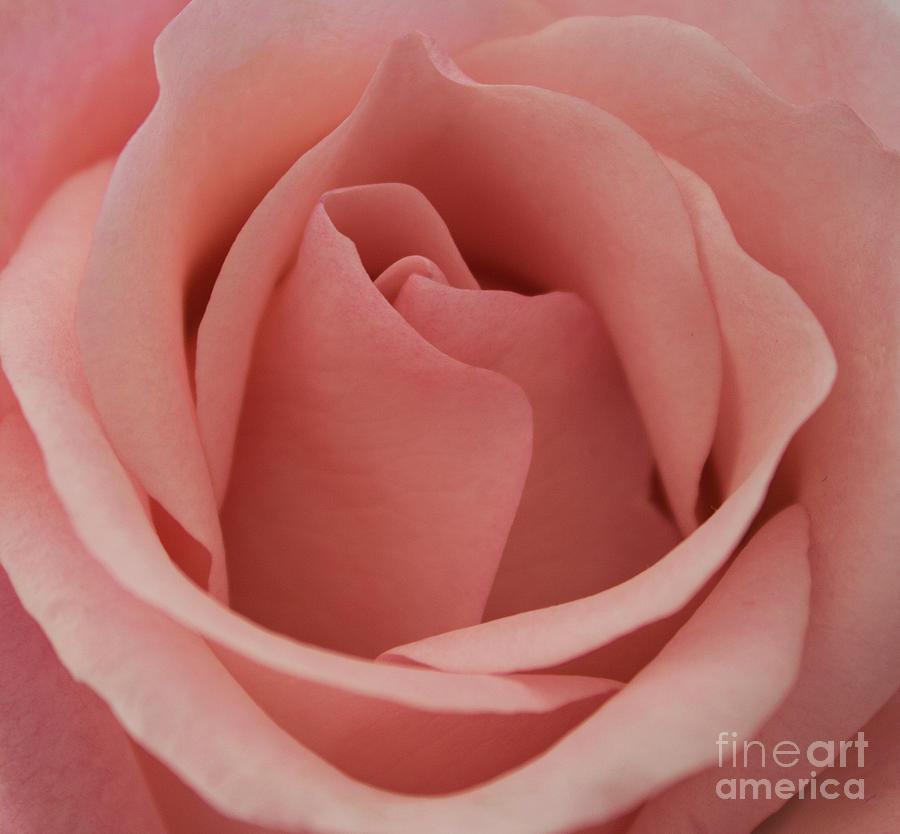 Park Photograph - Peach Rose by Arlene Carmel