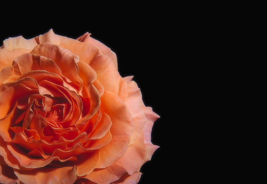 peach rose black background photograph by paul w sharpe aka wizard of wonders peach rose black background by paul w sharpe aka wizard of wonders