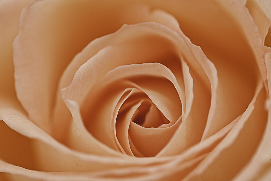 Peach Photograph - Peach Rose by Lesley Rigg