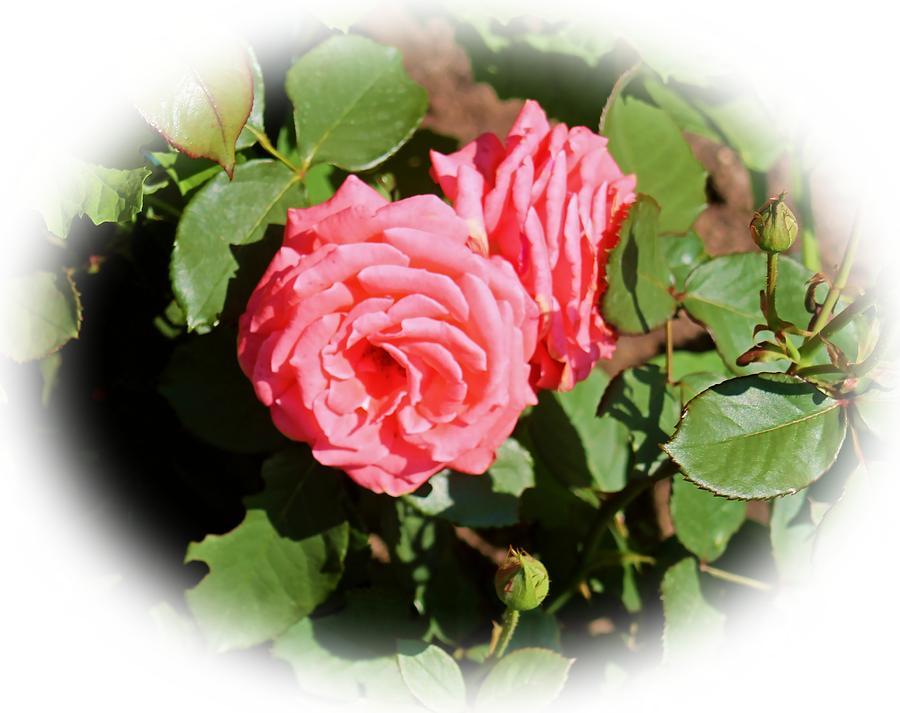 Flower. Rose. Peach Photograph - Peach Rose by Victoria Sheldon