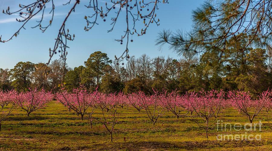 Peach Tree A Bloom Photograph